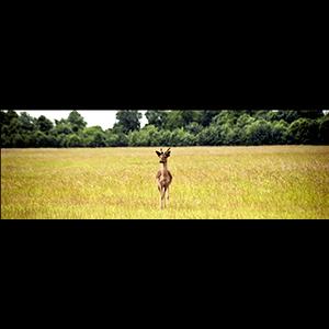 Deer, Phoenix Park